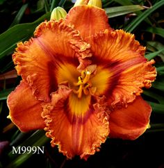 Coming Attractions - Maryott's Daylily Gardens - 	Another interation with orange breeding. Intercrossing the best oranges gives intersting segregation and ultimately improved seedlings. View Pedigree