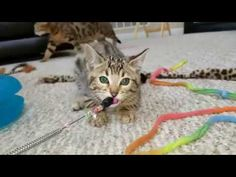 Tigress Girl 1 - Available Bengal Kittens For Sale, Kitten For Sale, Cattery, Cats, Animals, Gatos, Animales, Kitty Cats, Animaux
