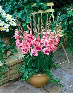'Eva' Glamini Gladiolus 10 Bulbs - NEW! I like this idea. Tropical Garden, Flower Pots, Plants, Bulb Flowers, Gladiolus, Beautiful Flowers, Wholesale Flowers, Flowers, Garden Containers