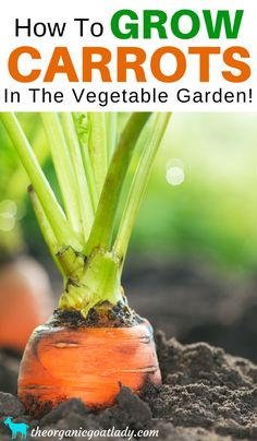 Gardening Tips, Vegetables In The Garden, How To Grow Carrots In The Vegetable Garden, Gardening DIY