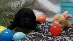 boy English Lab Puppies, Boys, Baby Boys, Sons