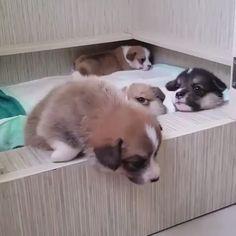 They are so cute - Cute Corgi Puppy Rule The World Cute Funny Animals, Cute Baby Animals, Animals And Pets, Cute Cats, Cute Animal Videos, Funny Animal Pictures, Cute Corgi, Cute Dogs And Puppies, Animal Memes