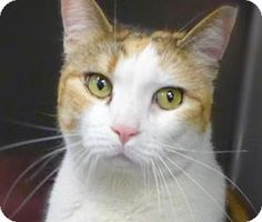 Sandy, a cat for adoption.