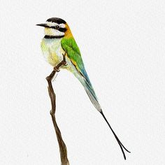 Bee-Eater {Birds of my heart} Watercolor Illustration & Painting by Cris Juliano