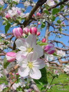 Apple Tree Flowers, Apple Tree Blossoms, Cherry Blossom, Blossom Garden, Spring Blossom, Wonderful Flowers, Beautiful Flowers, Apple Blossom Tattoos, Dame Nature