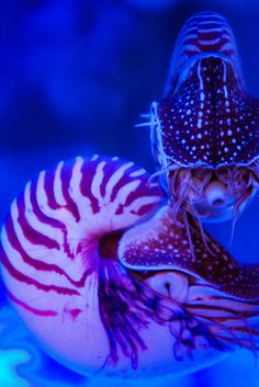 Chambered Nautilus They make difficult captives. They are open sea creatures with chiller requirements.