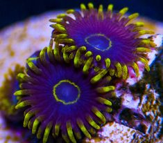 My Reef to Yours - Live Coral Frags Coral Frags, Live Coral, Purple, Viola