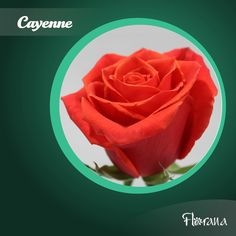 Cayenne presents a unique color full of life and beauty that will captivate everyone. Organic Roses, Unique Colors, Presents, Life, Beauty, Food, Gifts, Meals, Yemek