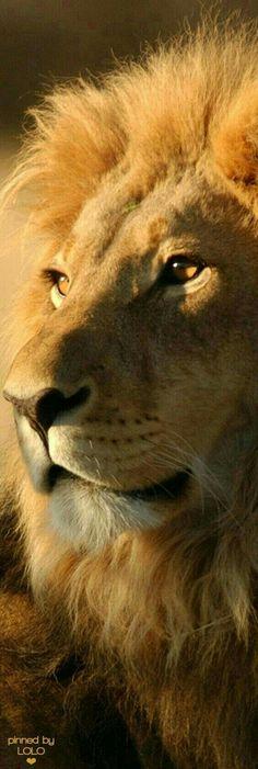 Beautiful Lion!