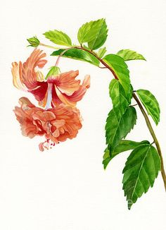Hibiscus gnral courtigis illustrations flowers rhs prints hibiscus flower paintings hibiscus el capitolio sport by sharon freeman ccuart Images
