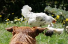 Alexandria, Virginia animal law attorney at the Law Office of Heidi Meinzer, PLLC discusses the dire consequences that come with owning backyard chickens. Raising Backyard Chickens, Backyard Chicken Coops, Pet Chickens, Animal Law, My Pet Chicken, Exotic Birds, Fleas, Yorkie, Gatos