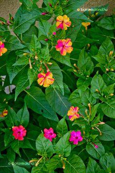 Beautiful Flowers Garden, Exotic Flowers, Pretty Flowers, 4 Oclock Flowers, Growing Flowers, Planting Flowers, Flowers Gif, Four O Clock, Types Of Flowers