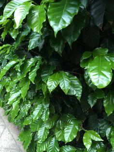 Mata de café chiapaneco. Una planta sana que florece y da fruto año con año. Todo un espectáculo.
