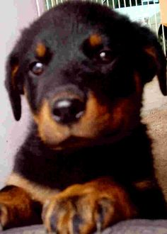 50 Best Rotties Images On Pinterest Doggies Puppys And Rottweilers