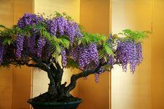 Wisteria Bonsai | How to Grow a Bonsai Tree