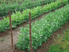 Here are the Home Vegetable Garden Design Ideas. This article about Home Vegetable Garden Design Ideas was posted under the Home Design category. If you want to see more Ideas in Home Design category, you can visit that category page. Home Vegetable Garden Design, Vegetable Garden For Beginners, Backyard Vegetable Gardens, Veg Garden, Garden Trellis, Gardening For Beginners, Trellis Fence, Pea Trellis, Gardening Hacks