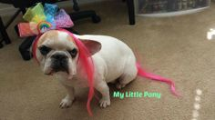 Jubilee's costume for a contest #frenchbulldog #frenchie