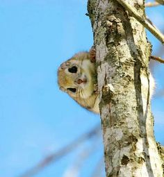 """Japanese dwarf flying squirrel, otherwise known as the momonga. """"Momonga"""" in Japanese can actually refer to any flying squirrel, but often refers to this. Cute Creatures, Beautiful Creatures, Animals Beautiful, Cute Baby Animals, Funny Animals, Wild Animals, Japanese Dwarf Flying Squirrel, Baby Flying Squirrel, Little Critter"""