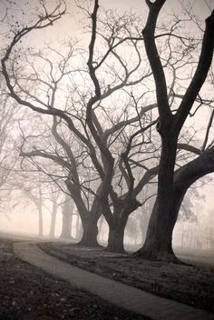 Melody Lane trees in the fog. Daguerreotype style. Copyright Ailene at writelnhelloworld.com