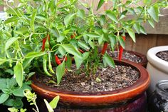 More Chillies!