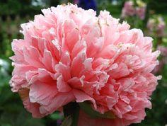 Poppy Rose Bombast