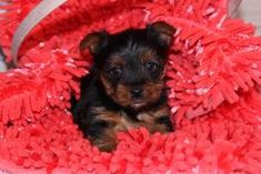 Puppies for Sale Yorkies For Sale, Yorkie Puppy For Sale, New Puppy, Puppies For Sale, Cute Puppies, Siberian Husky Puppies, Husky Puppy, Cheap Puppies, Puppies Near Me