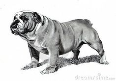 Pencil Drawing of Bulldog. A realistic pencil drawing of a bulldog , English Bulldog Funny, English Bulldog Puppies, English Bulldogs, Realistic Animal Drawings, Art Drawings, Bulldog Drawing, Chibi, Bulldog Mascot, Love Is In The Air