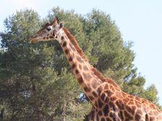 Safari Aitana, Espanja [Safari Aitana, Spain] Zoos, Aquariums, Giraffe, Animals, African, Tanked Aquariums, Felt Giraffe, Animales, Animaux