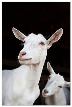 saanen dairy goats