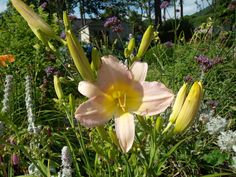 Day Lily, Summer 2012, PGipson