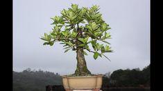 COMO FAZER BONSAI A PARTIR DE UMA MUDA BRUTA - ABC DO BONSA COMO FAZER BONSAI A PARTIR DE UMA MUDA BRUTA - ABC DO BONSAINesta série eu mostro como fazer um bonsai a partir de uma bruta comprada em viveiros e gardens. Parece uma tarefa fácil mas aqui mostramos detalhadamente como é todo o processo. Lembrando que esta planta ainda não pode ser chamada de Bonsai, ela é um pré- Bonsai. O adubo é a comida do Bonsai e para não ter perigo de você errar na adubação, criamos um kit anual de adubação que  Youtube, Landscaping Tips, Vivarium, Moving Out, Plants, Yearly, Youtubers, Youtube Movies