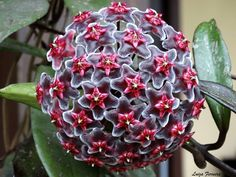 HOYA Purplle Hawaii. Not sure if this is actually a succulant, but it sure is beautiful!