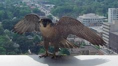 """""""This peregrine falcon landed just outside our window on the ledge of a building at Yonge and Eglinton."""""""