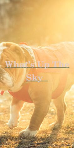 Browsing for english bulldog pups for sale? The best online shopping experience is guaranteed! 222 english bulldog young puppies items from 74 ... #do...