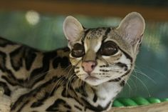 Margay. Wild cat from Costa Rica. Has the biggest eyes of any cat. So lovely!