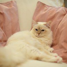 Jobbigt och vara Lyckogångens Casanova! Hard work being Lyckogångens Casanova! #popcorn #poppylove #breeder #birma #birman #catsofinstagram #chokladochvanilj #kitten #neko #pinkalicious #welovecats #we_love_cats