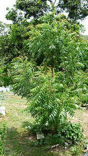 Plante Nim (Azadirachta indica) e espante o mosquito da dengue