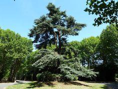 Cèdre à Bagneux - région Ile de France - classé arbre remarquable de France