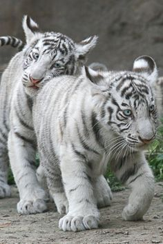 Cute white tiger cub