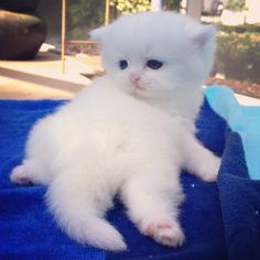 84 Best Adorable Teacup Kittens For Sale! images in 2018 | Teacup