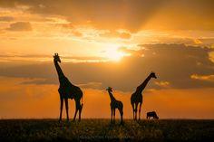 Golden Africa by John Fan