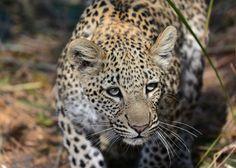 Sky Photos, Photo Competition, Photo Contest, Predator, Panther, Safari, Cats, Photograph, Magic