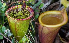 Nepenthes attenboroughii