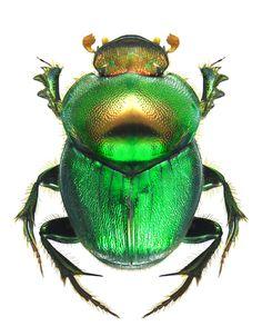 Onthophagus (Proagoderus) dives