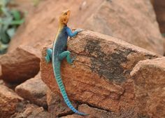 Red-headed Agama?