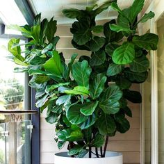 """Just delivered to ST Peters store 100 fiddle leaf figs. 700mm high and $145. The must have indoor plant that is still asked for every day. TIP! repot…"""