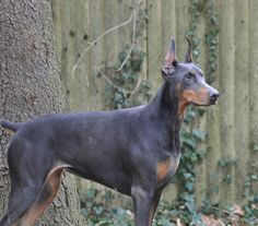 I want to have a female blue Doberman after Imma Star passes of old age. I would name her Tempest :-)