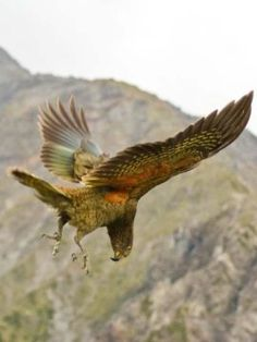 When people are feeling playful, they giggle and laugh, making others around them want to laugh and play too. Now, researchers have found that the particularly playful kea parrot from New Zealand has a 'play call' with a similarly powerful influence. When other kea hear that call, it puts them into a playful mood.