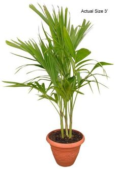 multi stem christmas palm tree adonidia merrillii - Christmas Palm Trees For Sale