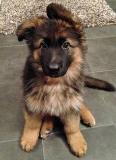 German Shepard's are my favorite dogs no questions asked